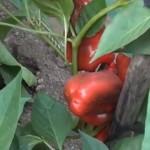 Perets|pepper