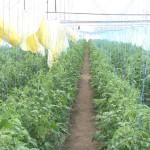 Rassada-pomidorov|tomato seedlings