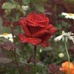 Roza|rose