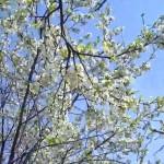 TSvetushhij-sa|blooming Garden