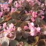 Begoniya-domashnyaya|Begonia home