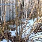 Kust-smorodiny-vesnoj|Currant bush in spring