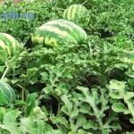 Vy-rashhivanie-arbuzov|Growing watermelons