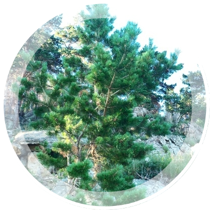 Bajkal-skaya-sosna