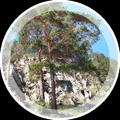 Bajkal-skie-sosny